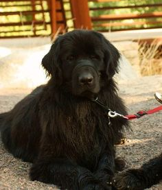 Seamus is  7yr. old male special needs Newfoundland dog mix. He has a touch of arthirtis & a slightly detached eyelid which doesn't seem to bother him. He just needs tumeric & glucosamine supplements.