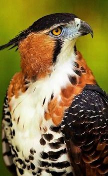Ornate hawk eagle (Spizaetus ornatus) is a bird of prey from the tropical Americas. Like all eagles, it is in the family Accipitridae. Pretty Birds, Love Birds, Beautiful Birds, Animals Beautiful, Exotic Birds, Colorful Birds, Aigle Animal, Tier Fotos, Big Bird