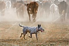 A working Blue Heeler, a lot leaner and muscular than the pedigree show ones.