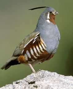 Quail- we used to call them bob whites, after the way their call sounds
