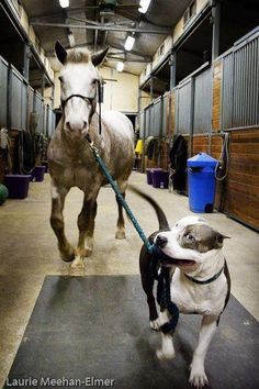 When my dog was a life she always took the horses for a walk it was so cool!