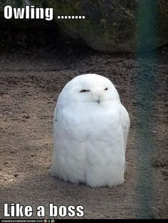 Owls, boss, owl, owling, perfect, snowy