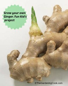 Grow your own ginger - Fun Kid's project
