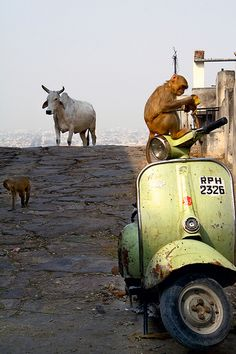 """INDIA……SOMEONE TAUGHT THE MONKEY TO DRIVE THE TRUCK, BUT HE STILL HAS TO WAIT TIL THE SACRED COW/BULL GETS OUT OF THE WAY--AND, YOU CAN NOT HURRY THE ANIMAL--THAT IS A """"NO-NO""""…………..ccp"""