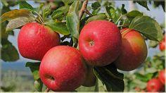 gambar apel merah