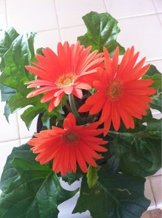 Transvaal Or Gerber Daisy (gerbera jamesonii): Your plant may belong to the Gerbera genus known for its colorful daisy flowers and popular as a cut flower. It will grow in your area in full sun with regular water and fed with a fertilizer formulated for container blooming plants. Does best outdoors in your area.