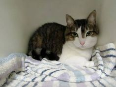 09/07/2016 SUPER URGENT ADOPT MS THANG A1085057 IN NYC BROOKLYN AND STATEN ISLAND - TO BE DESTROYED - SPAYED FEMALE, BRN TABBY / WHITE, ex-pet, 7 years old, urgently needs an assessment to determine health and temperament before adoption can take place.