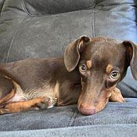 Pearland Tx Dachshund Meet Bernard A Pet For Adoption Baby