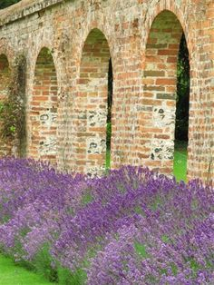 Lavender in bloom at Highclere Castle - Berkshire, England aka Downton Abbey