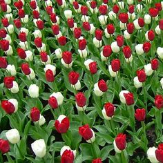 White and Pink tulips look delicious