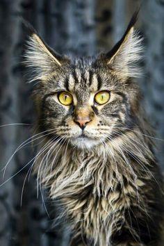 Sir cat!