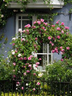 rosas do jardim, rosas David Austin inglês e rosas de escalada. Discussão sobre LiveInternet - Serviço russo diários on-line