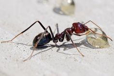How to Get Rid of Sugar Ants? How to get rid of sugar ants? Ways to kill sugar ants using home remedies. Prevent sugar ants infestation. Avoid sugar ants. Stop sugar ants infestation.