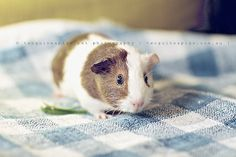 Gertie the guinea pig by @twoguineapigs. Read the full story on the blog: http://bit.ly/pVyVDX