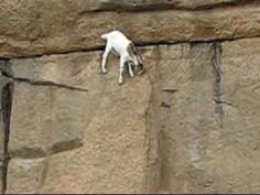 Baby mountain goat balances on even the smallest of ledges.