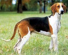 Grand anglo-francais tri colore photo | Le grand anglo-français tricolore est une race de chien de chasse ...