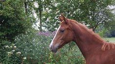 Paarden te koop: Cidre Mansolein Z