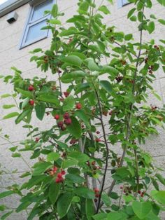 June berry or serviceberry, Saskatoon