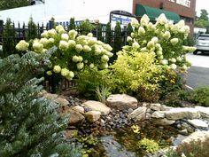 Our pond surrounded by Limelight #hydrangea trees and a Siberlocke Korean fir tree. #landscaping