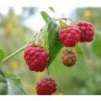 Planta de Frambuesa Rubus Idaeus Var. Autumn Bliss. Raíz Desnuda