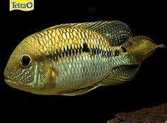Yellow Acara (Aequidens Metae) — A very peaceful species, although in breeding they can be slightly more aggressive. Their origin is Columbia. The Metae loves an aquarium that is set up with plenty of driftwood and caves for purposes of having a hiding area if they feel the need. This species is omnivorous and requires a decent sized aquarium due to their growth.
