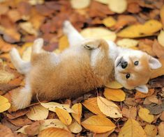 I've decided that when I get a dog, I'm getting a Shiba Inu. He looks just like a baby fox!