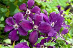 Discover 10 beautiful Group 3 clematis to grow and get tips on pruning them, in this expert guide from BBC Gardeners' World Magazine. Clematis Care, Clematis Trellis, Clematis Plants, Purple Clematis, Clematis Flower, Pruning Plants, Geranium Sanguineum, Gladiolus Bulbs, Late Summer Flowers