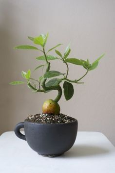 Avocado bonsai. Impossible? I don't think so. ;)