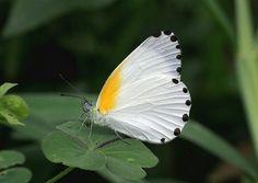 Mylothris rhodope