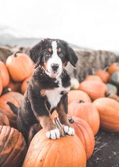 Halloween Fotografie, Burmese Mountain Dogs, Bernese Dog, Entlebucher, Baby Animals, Cute Animals, Dog Pumpkin, Dog Halloween, Happy Halloween