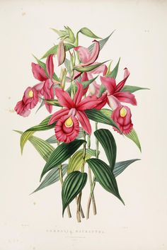The Orchidaceae of Mexico and Guatemala. - Biodiversity Heritage Library