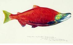 James Prosek, Sockeye Salmon - Kenai River, Alaska, Watercolor, 21 x 29 in. At the Gerald Peters Gallery, Santa Fe.