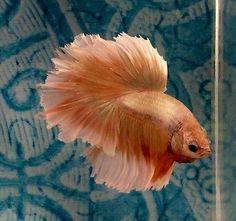 #35 Thai Import Fancy Yellow Gold Male HM Halfmoon Betta Splendens Live Fish