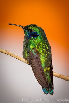Hummingbird - titled Green Violet Ears