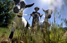 #goatvet likes that volunteers walk goats on a leash, while training the goats as pack animals