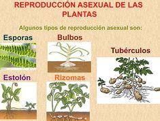 Ejemplos de reproduccion asexual vegetal
