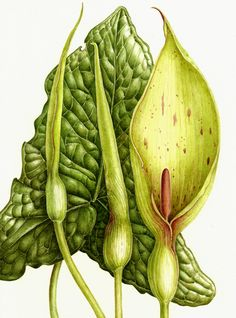 Best Botanicals ~ Arum maculatum, Lord-and-Ladies Vintage Botanical Prints, Botanical Drawings, Botanical Flowers, Botanical Art, Illustration Botanique, Merian, Nature Plants, Polychromos, Color Pencil Art