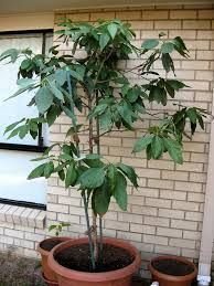 Avocado Tree Basic Care