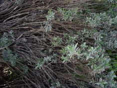 Ifjítsd meg a levendula töveket! - Kertlap Kertészeti Magazin & Kertészeti Tanfolyamok Plants, Gardening, Lawn And Garden, Plant, Planets, Horticulture