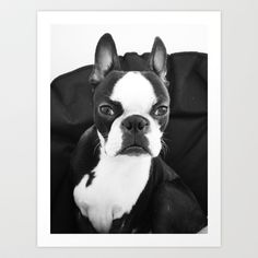 Lulo's evil look. Art Print by Lulo The Boston Terrier - $19.99