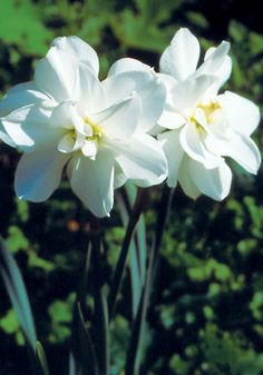 Albus Plenus Odoratus-double fragrant narcissi,rare heirloom variety,Old House Gardens/web special only