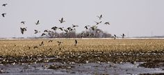 Are you looking for that special duck hunting trip? The Missouri Golden Triangle is the premier duck hunting locations in the United States. We have guided duck hunts for hunters of all skill levels and experience.  www.showmesnowgeese.com