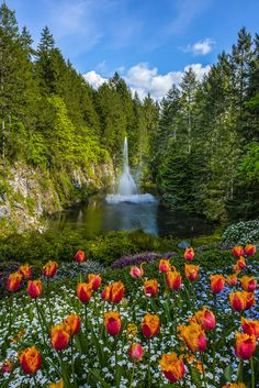 fountain and tulips - Buchart Gardens with the tulips in bloom in Victoria, Canada