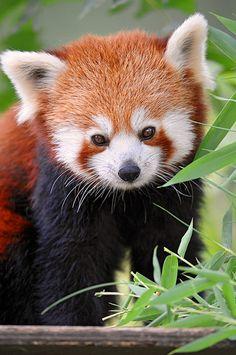 Panda rojo. hermoso.
