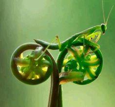 """Praying Mantis atop a fern """"bicycle."""""""