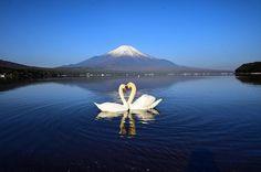 #ハート#白鳥#ハートスワン#富士#富士山 #山中湖#山梨#swan#swans#fuji#fujisan#mtfuji#mtfujijapan#lake#lakeyamanakako#yamanashi#japan #写真撮ってる人と繋がりたい#ファインダー越しの私の世界 #team_jp_ #Lovers_Nippon #icu_japan #INSTA_CREW #worldcaptures #igs_asia #igs_world #japan_daytime_view