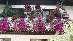 September 2017. Meine  Balkonblumen blühen üppig. Vom Holzbalkon sieht man fast gar nichts mehr, so lange hängen die Surfinien und Pelargonien hinunter. September, Plants, Red, Plant, Planets