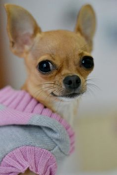 Chihuahua http://adogfashion.com/dog-sweaters-jumpers
