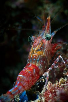 Kaleidoscopic Shrimp. There must be a reason we can't caress these beautiful creatures.
