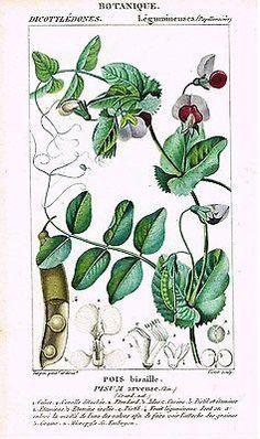 "Turpin's Botanical Prints - ""POIS & PISUM"" - Hand-Colored Engraving - 1837"